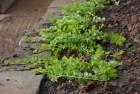 image: http://chadzilla.com/site/photos/garden/2012/_thumb100/creeping_jenny.jpg